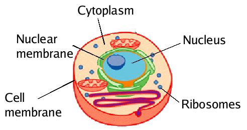What is the function of Ribosomes? Types, Definition, and Structure