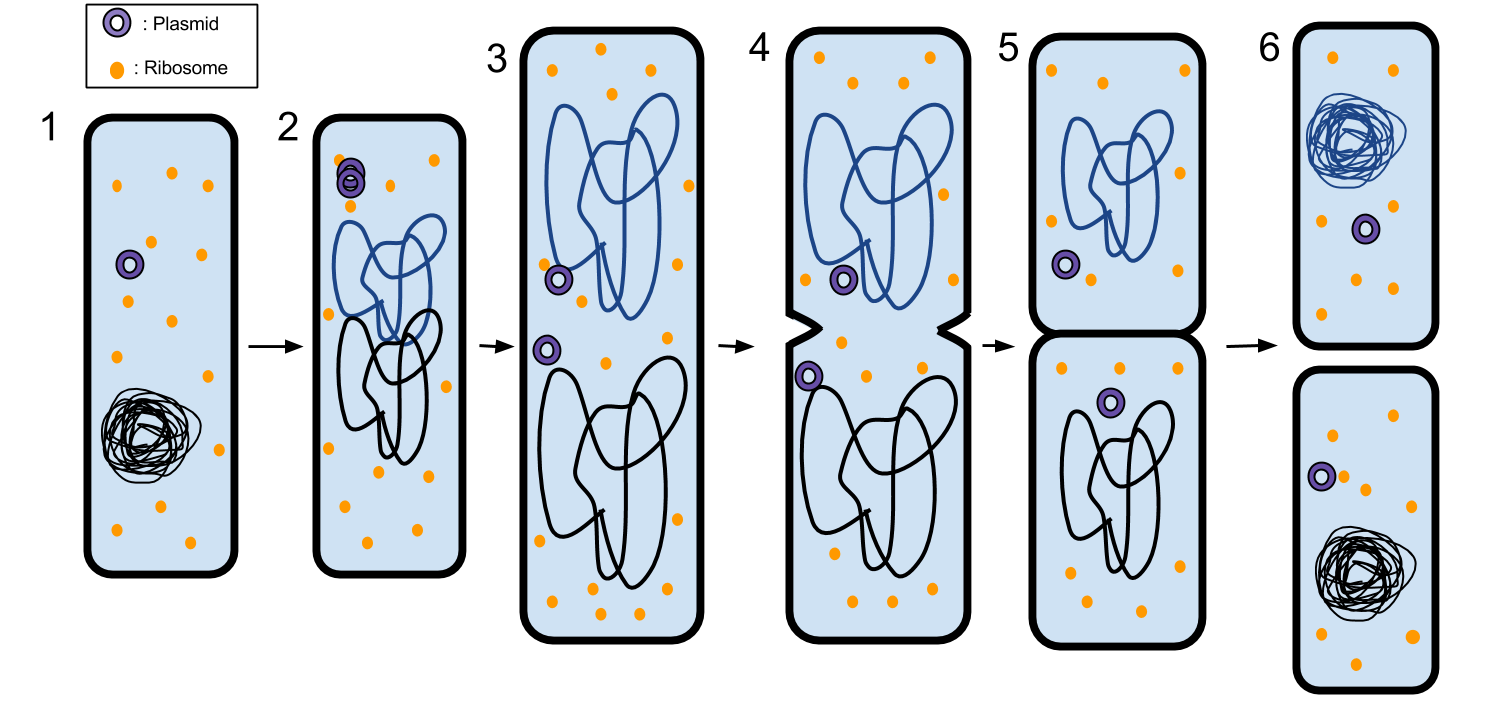 What is binary fission? Types, Examples